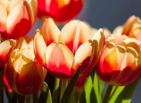 Tulips - Good Friday